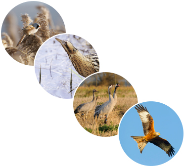 four varieties of British Wild birds