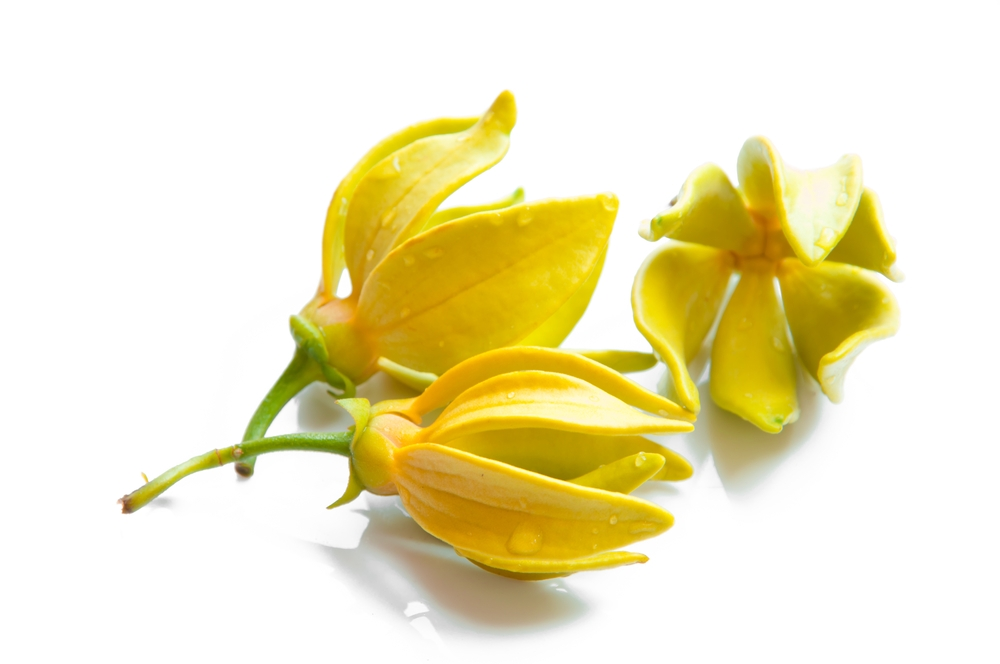 This is a photo of some ylang ylang flowers