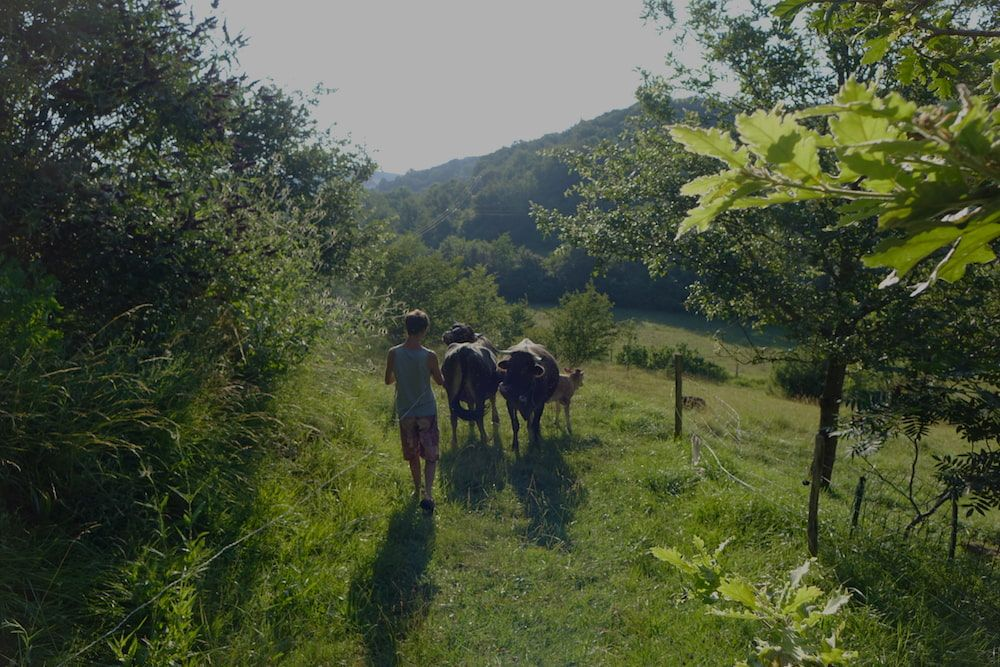 Dave walking with cows