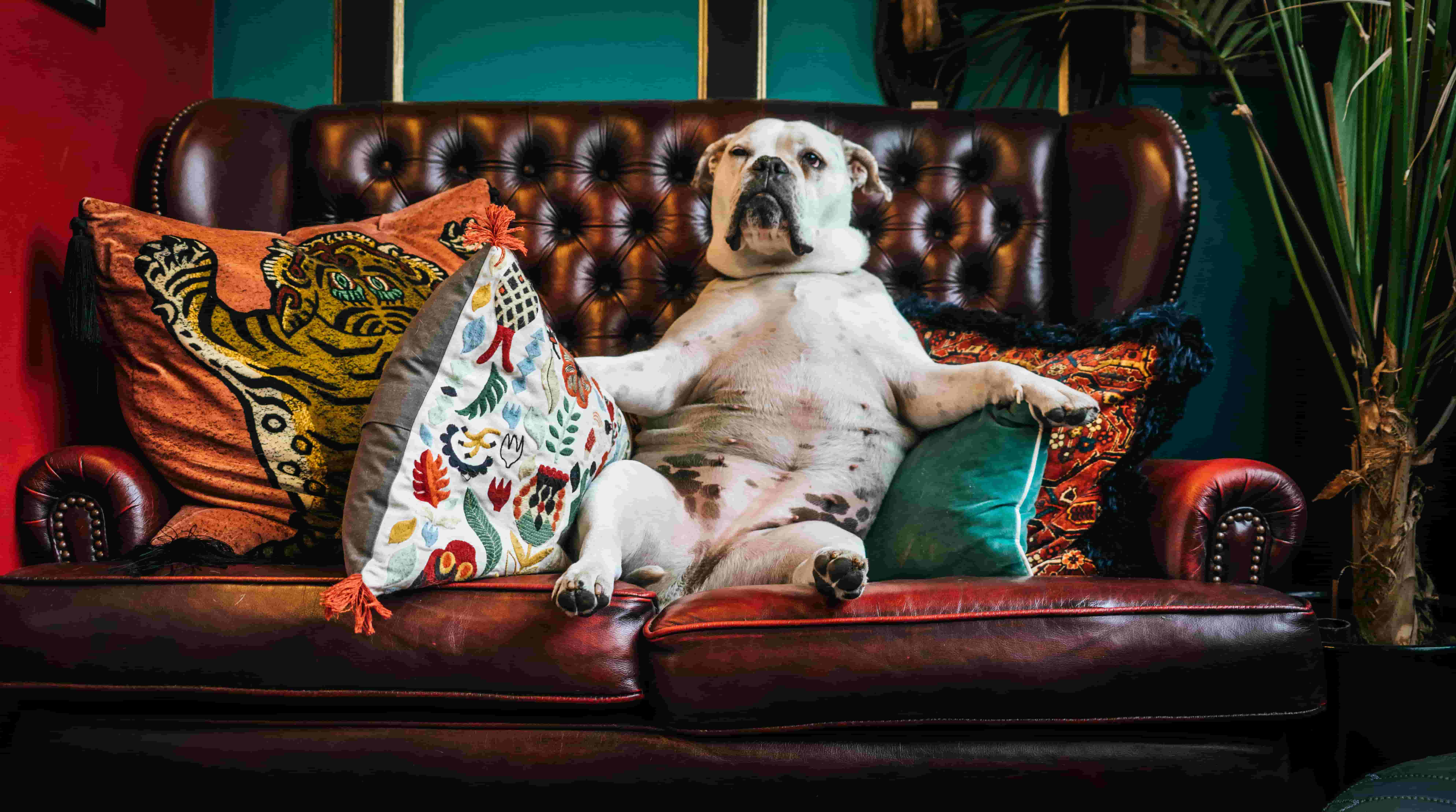 A dog lounges on a sofa
