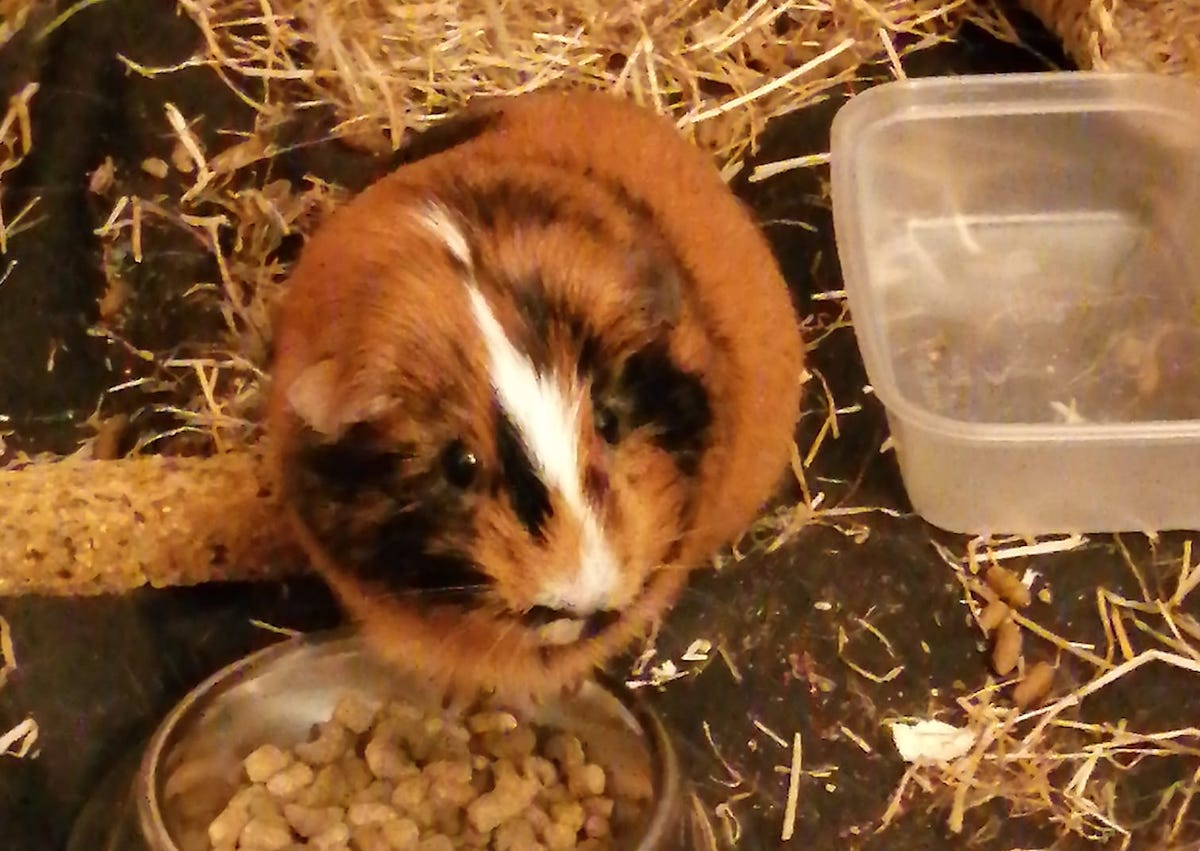 A brown and white guinea pig