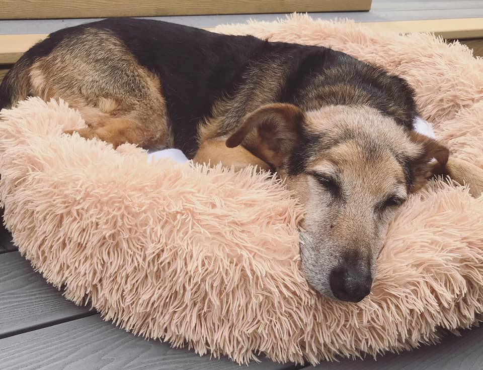 A brown dog lying asleep in a fluffy bed